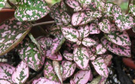 pink foliage plants garden