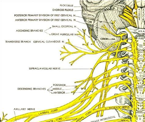 diagram of the spine and nerves pictures of cervical spinal nerve