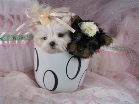 tea cup dogs teacup breed list with pictures so and pets world