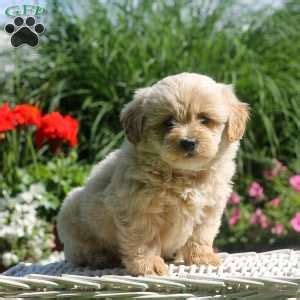 shih tzu for sale nj shih poo puppies for sale in de md ny nj philly dc and design bild