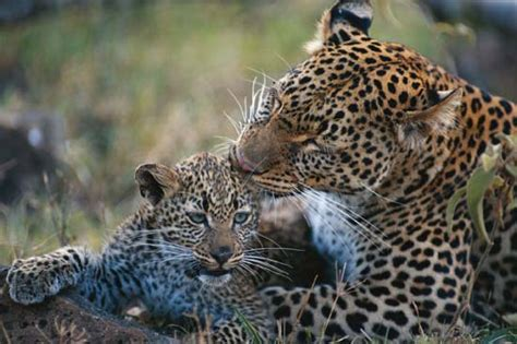 how many babies does a jaguar mammal definition characteristics classification