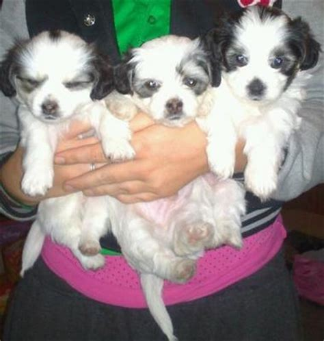 shih tzu puppies for sale adelaide maltese shih tzu x west highland terrier for sale adelaide australia free
