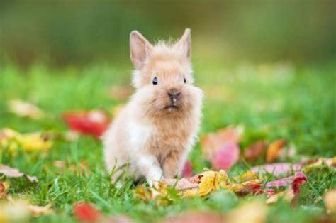 alimentazione conigli nani alimentazione coniglio nano mondopets it