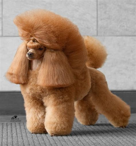 french puddle hair cut i m sexy and i know it pets pinterest poodle and dog
