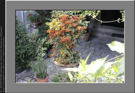Flieder Im K Bel 2728 by Kletterpflanzen Im K 252 Bel Clematis Und Kletterpflanzen