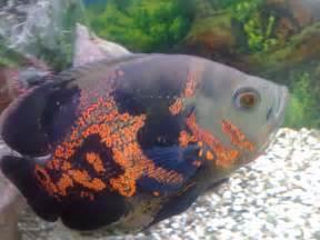 cichlids.com: My Tiger Oscar cichlid
