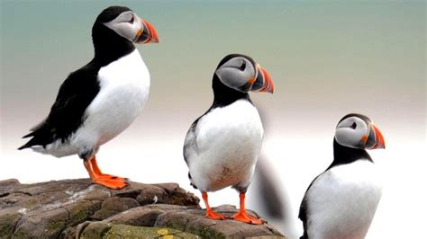 new plan to get puffins back on ramsey island cbbc newsround