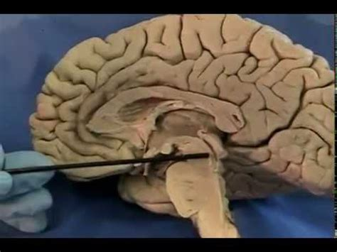 midsagittal section of human brain uic neuroanatomy midsagittal section of the human brain