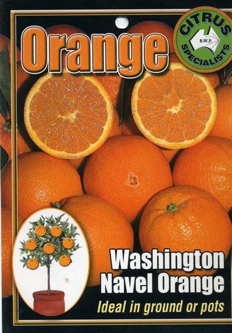 tag washington navel orange ideal  ground  pots
