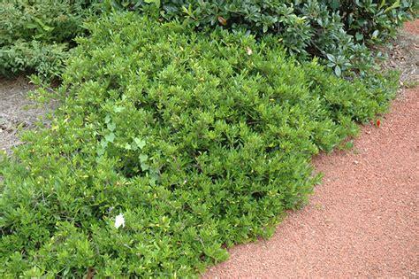 Gardenia Bush Size Radicans Miniature Gardenia Gardenia Jasminoides