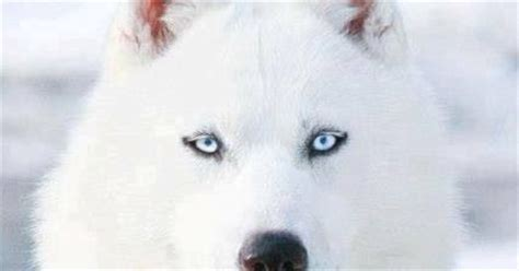 white dogs with blue i want a white with blue my dogs