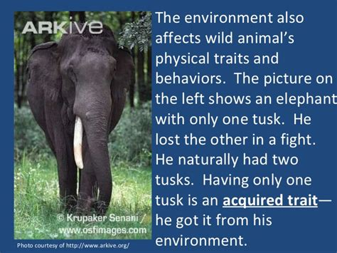 african grey inherited traits image gallery elephant traits