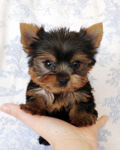 yorkie puppies for sale delaware les 25 meilleures id 233 es de la cat 233 gorie teacup sur mini