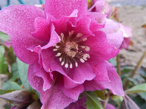 helleborus spring promise wordless wednesday sow and so