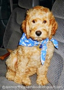 goldendoodle puppy uti vaccination spencer the goldendoodle