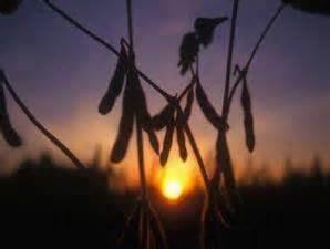 Jual Bungkil Kacang Kedelai kedelai lokal distributor bahan pakan ternak hijauan