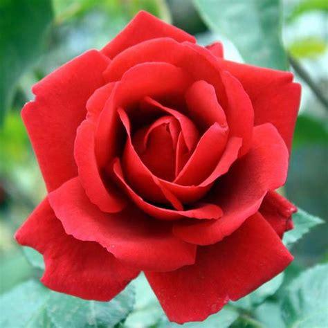 Biji Bunga Mawar Merah jual bibit mawar merah cantik agro bibit id