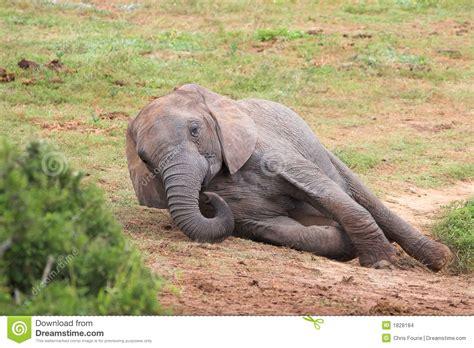 Resting Elephant stock photo. Image of herbivore, enormous ...