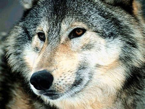 a wolf wolf images the anubian s wolf pack photo 18698349 fanpop