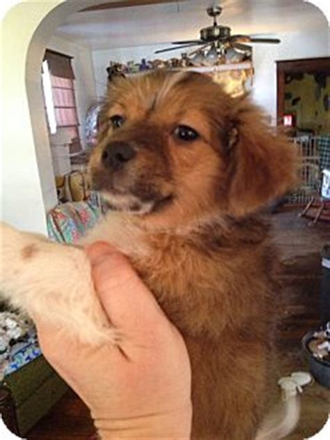 pomeranian puppies st louis mo chihuahua pomeranian mix puppy for adoption in st louis missouri judy fuzzy