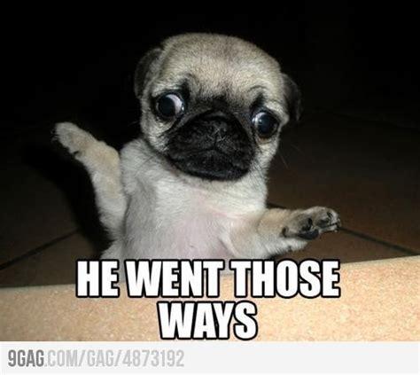 lol pugs lol pugs awwww