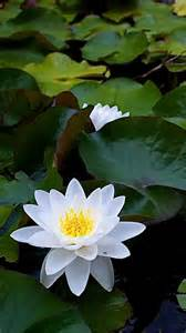 White Lotus Plant White Lotus Flower Galaxy Note 3 Wallpapers
