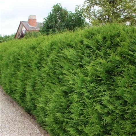 thuja occidentalis smaragd 994 vakarinė tuja thuja occidentalis brabant www