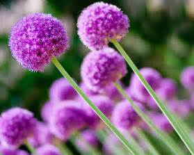 The allium flowering plant also known as the flowering onion and