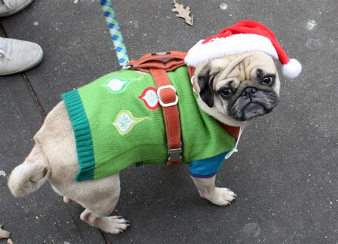 pugs in sweaters pug in an adorable sweater pugs