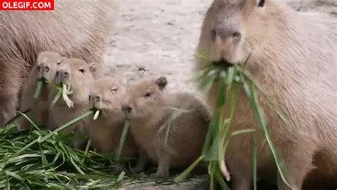 las redes sociales imagenes gif gif familia de carpinchos comiendo hierba gif 4908