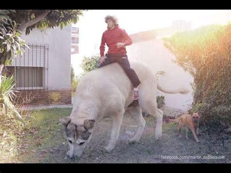 imagenes tiernas grandes los perros mas peligrosos del mundo youtube