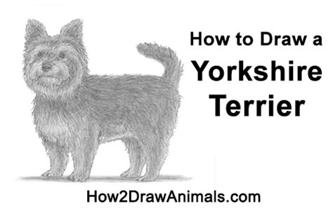 how to a yorkie puppy how to draw a terrier