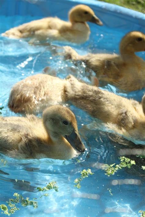 heat l for ducklings makin it with frankie ducklings turn three weeks that is