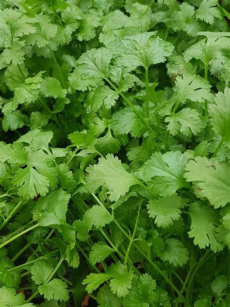 coriander indonesia coriander or cilantro coriandrum sativum terra greenhouses