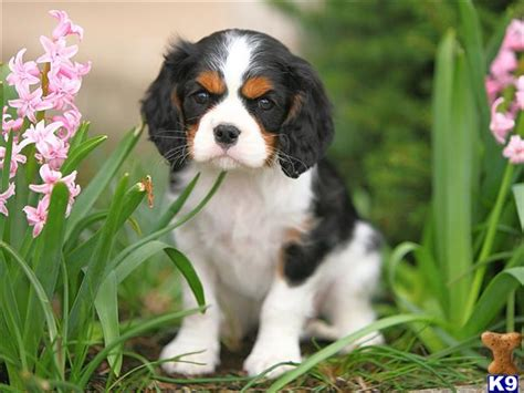spaniel puppies pa document moved