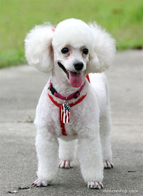 poodle dogs poodle 6 jpg