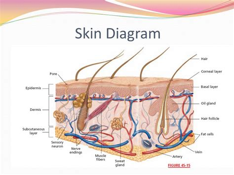 diagram of a skin integumentary system chapter ppt