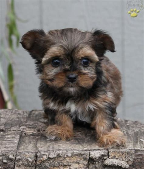 puppies for sale lancaster pa minnie teacup shorkie puppy for sale in ronks pa lancaster puppies dust bunny