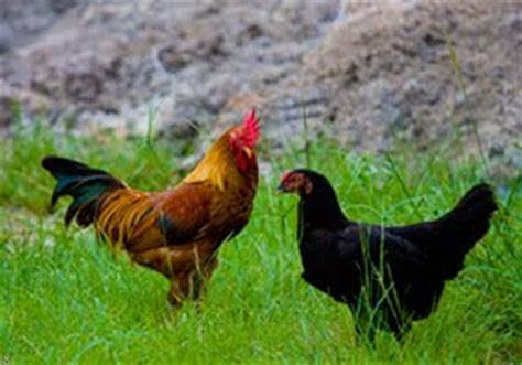 Bibit Ayam Ras Per Ekor kumpulan budidaya budidaya ayam buras