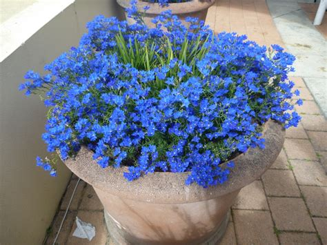best flowers for small pots best australian plants for pots and containers