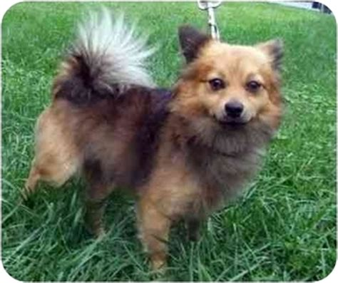 pomeranian rescue md jacques adopted baltimore md pomeranian pekingese mix