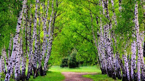 summer birch trees  road wallpapers