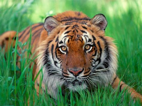 imagenes artisticas de tigres imagenes de tigres para fondos de pantalla taringa