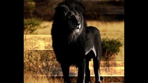 imagenes leon negro la verdad sobre el le 243 n negro o le 243 n del cabo youtube