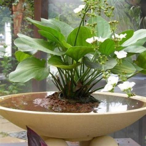 Bambu Air Tanaman Jenis Tanaman Air 4 jenis tanaman air dalam pot