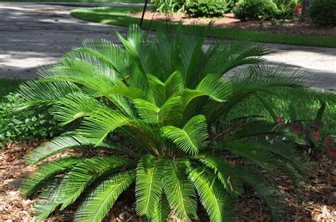 sago palm cycad usually 3 to 5 in height but can reach up to 10 does well in sun and
