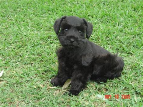 black mini schnauzer puppies snowflake schnauzers miniature schnauzer puppies miniature schnauzer puppies home page