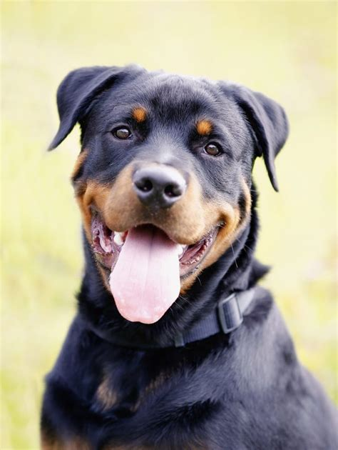 rottweiler hair skin problems in rottweilers cuteness