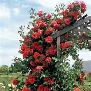 blaze of glory climbing rose for sale at jackson and perkins
