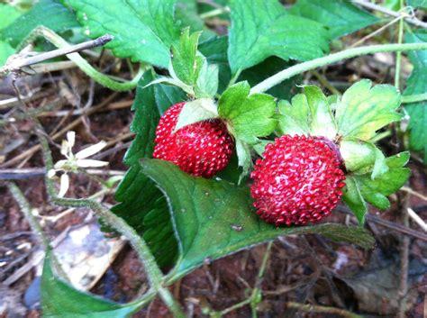 Walderdbeeren Giftig by Strawberry Indian Mock Strawberry Identification